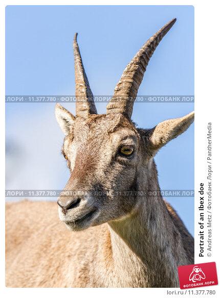 Купить «Portrait of an Ibex doe», фото № 11377780, снято 19 апреля 2019 г. (c) PantherMedia / Фотобанк Лори