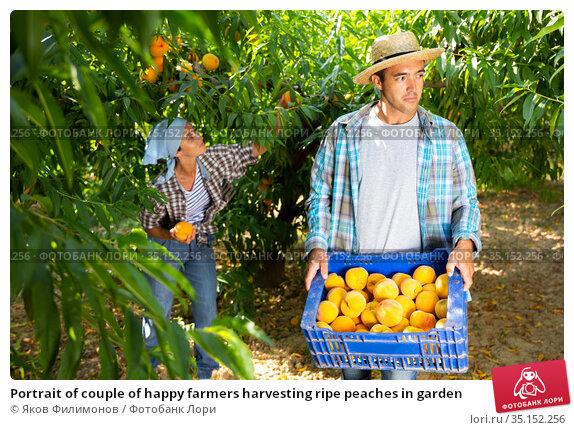 Portrait of couple of happy farmers harvesting ripe peaches in garden. Стоковое фото, фотограф Яков Филимонов / Фотобанк Лори