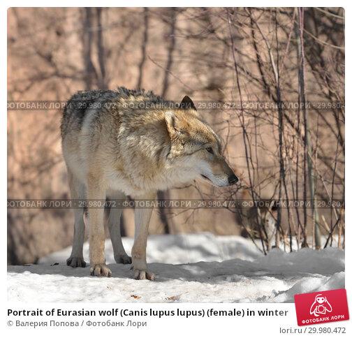 Купить «Portrait of Eurasian wolf (Canis lupus lupus) (female) in winter», фото № 29980472, снято 17 февраля 2019 г. (c) Валерия Попова / Фотобанк Лори