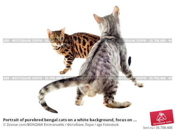 Portrait of purebred bengal cats on a white background, focus on ... Стоковое фото, фотограф Zoonar.com/BONZAMI Emmanuelle / age Fotostock / Фотобанк Лори