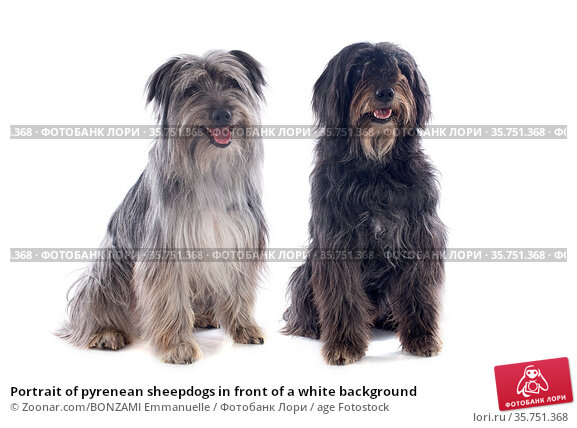 Portrait of pyrenean sheepdogs in front of a white background. Стоковое фото, фотограф Zoonar.com/BONZAMI Emmanuelle / age Fotostock / Фотобанк Лори