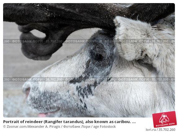 Portrait of reindeer (Rangifer tarandus), also known as caribou. ... Стоковое фото, фотограф Zoonar.com/Alexander A. Piragis / age Fotostock / Фотобанк Лори