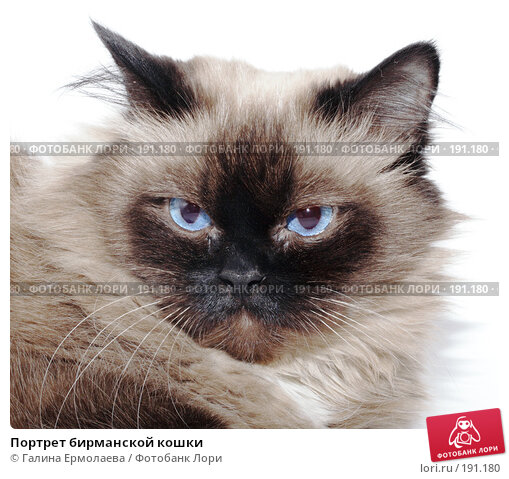 Портрет бирманской кошки, фото № 191180, снято 27 января 2008 г. (c) Галина Ермолаева / Фотобанк Лори