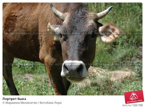 Портрет быка, фото № 320708, снято 5 июля 2007 г. (c) Марианна Меликсетян / Фотобанк Лори