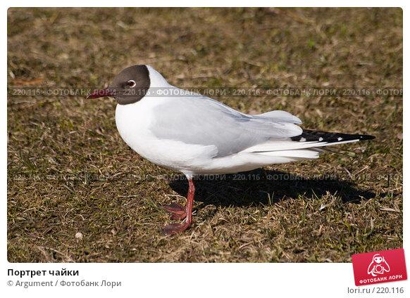 Купить «Портрет чайки», фото № 220116, снято 9 апреля 2007 г. (c) Argument / Фотобанк Лори