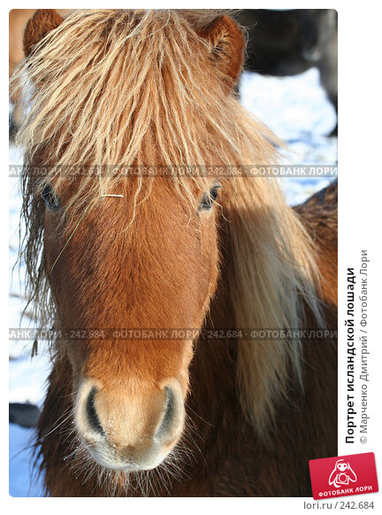 Портрет исландской лошади, фото № 242684, снято 8 марта 2008 г. (c) Марченко Дмитрий / Фотобанк Лори
