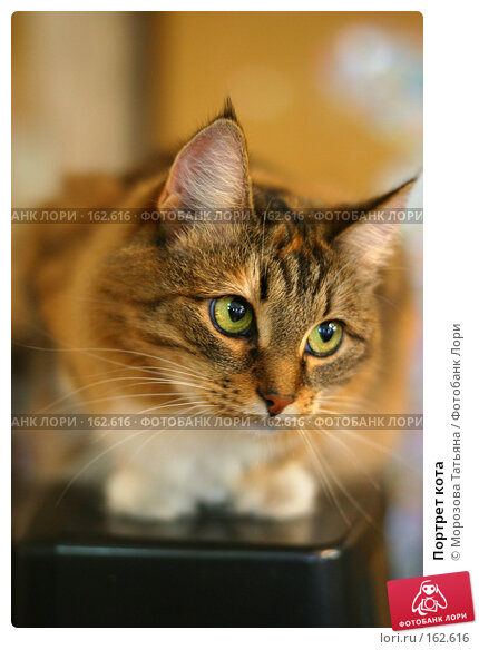 Купить «Портрет кота», фото № 162616, снято 12 августа 2006 г. (c) Морозова Татьяна / Фотобанк Лори