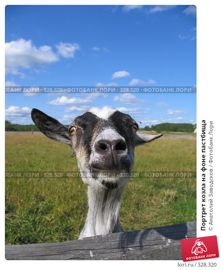 Портрет козла на фоне пастбища, фото № 328320, снято 4 августа 2006 г. (c) Анатолий Заводсков / Фотобанк Лори