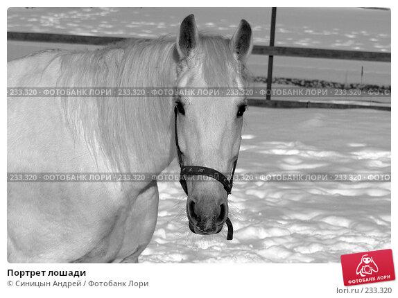 Портрет лошади, фото № 233320, снято 21 февраля 2008 г. (c) Синицын Андрей / Фотобанк Лори