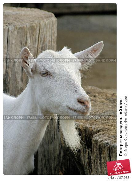 Портрет молоденькой козы, фото № 87988, снято 20 августа 2017 г. (c) Игорь Соколов / Фотобанк Лори