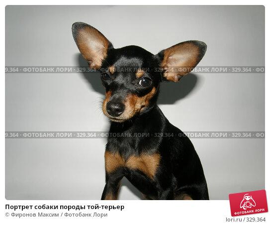 Купить «Портрет собаки породы той-терьер», фото № 329364, снято 21 июня 2008 г. (c) Фиронов Максим / Фотобанк Лори