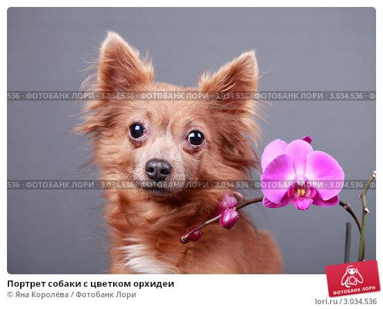 Купить «Портрет собаки с цветком орхидеи», эксклюзивное фото № 3034536, снято 20 мая 2019 г. (c) Яна Королёва / Фотобанк Лори