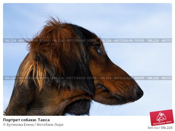 Портрет собаки. Такса, фото № 186224, снято 8 июня 2007 г. (c) Бутинова Елена / Фотобанк Лори