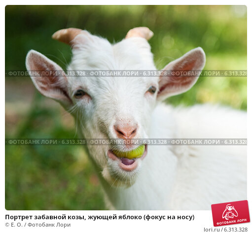 Купить «Портрет забавной козы, жующей яблоко (фокус на носу)», фото № 6313328, снято 25 июля 2014 г. (c) Екатерина Овсянникова / Фотобанк Лори