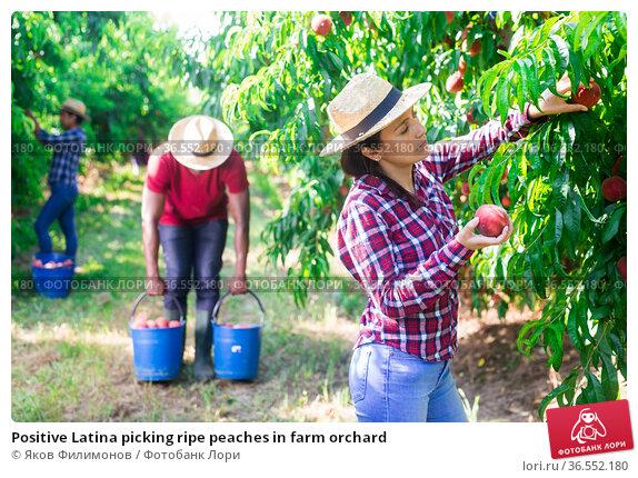 Positive Latina picking ripe peaches in farm orchard. Стоковое фото, фотограф Яков Филимонов / Фотобанк Лори