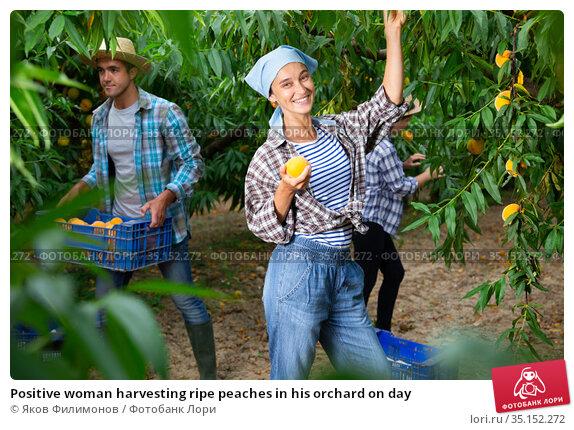 Positive woman harvesting ripe peaches in his orchard on day. Стоковое фото, фотограф Яков Филимонов / Фотобанк Лори