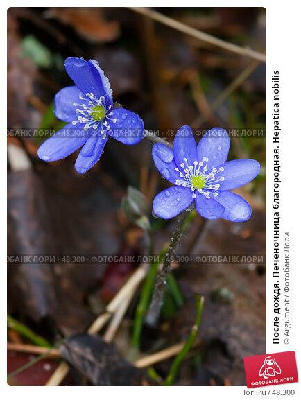 После дождя. Печеночница благородная. Hepatica nobilis, фото № 48300, снято 9 мая 2005 г. (c) Argument / Фотобанк Лори