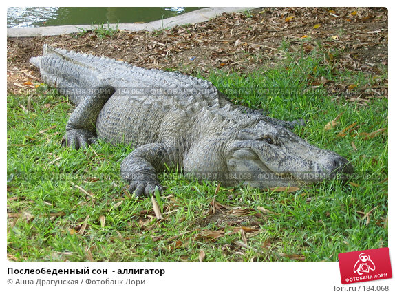 Послеобеденный сон  - аллигатор, фото № 184068, снято 9 июня 2006 г. (c) Анна Драгунская / Фотобанк Лори