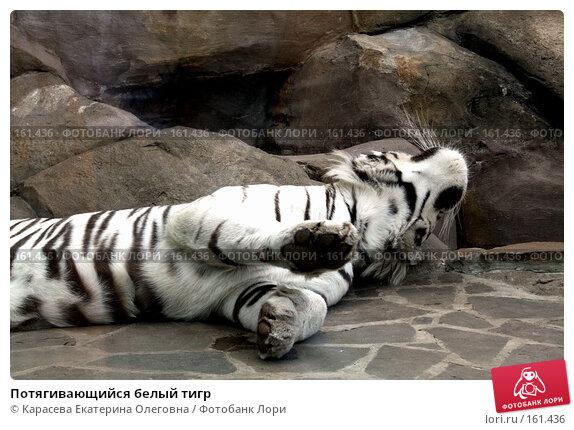 Потягивающийся белый тигр, фото № 161436, снято 11 июля 2007 г. (c) Карасева Екатерина Олеговна / Фотобанк Лори