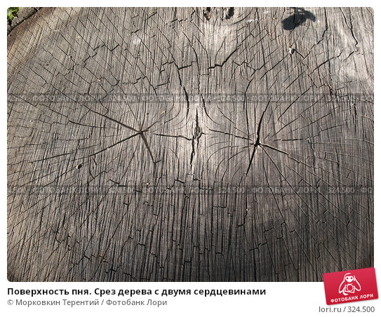 Купить «Поверхность пня. Срез дерева с двумя сердцевинами», фото № 324500, снято 17 мая 2008 г. (c) Морковкин Терентий / Фотобанк Лори