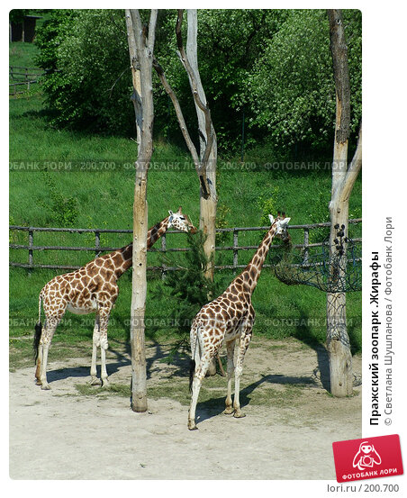 Пражский зоопарк .Жирафы, фото № 200700, снято 9 мая 2006 г. (c) Светлана Шушпанова / Фотобанк Лори