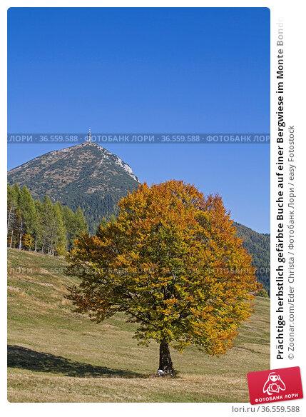 Prächtige herbstlich gefärbte Buche auf einer Bergwiese im Monte Bondonegebirge... Стоковое фото, фотограф Zoonar.com/Eder Christa / easy Fotostock / Фотобанк Лори
