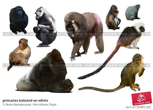 Купить «primates isolated on white», фото № 29891252, снято 18 апреля 2019 г. (c) Яков Филимонов / Фотобанк Лори