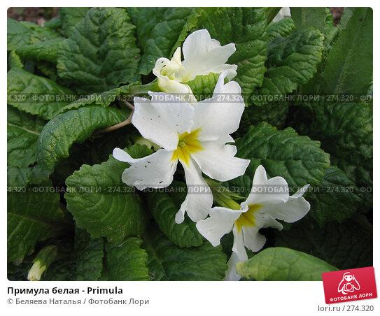 Примула белая - Primula, фото № 274320, снято 26 мая 2007 г. (c) Беляева Наталья / Фотобанк Лори
