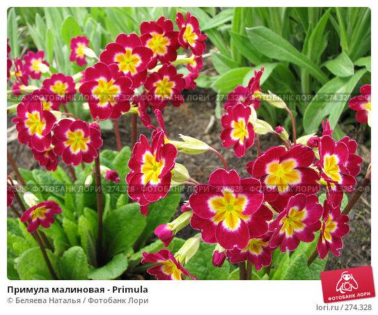 Примула малиновая - Primula, фото № 274328, снято 26 мая 2007 г. (c) Беляева Наталья / Фотобанк Лори