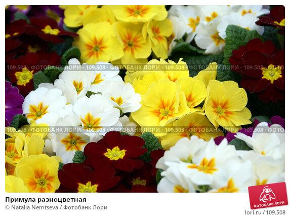 Купить «Примула разноцветная», эксклюзивное фото № 109508, снято 24 февраля 2007 г. (c) Natalia Nemtseva / Фотобанк Лори