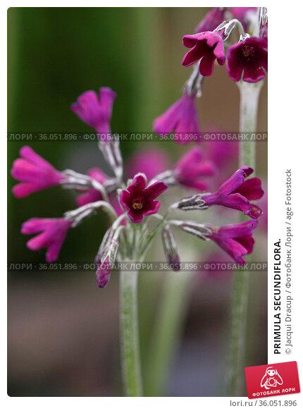 PRIMULA SECUNDIFLORA. Стоковое фото, фотограф Jacqui Dracup / age Fotostock / Фотобанк Лори