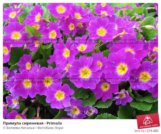 Примула сиреневая - Primula, фото № 274480, снято 31 мая 2006 г. (c) Беляева Наталья / Фотобанк Лори
