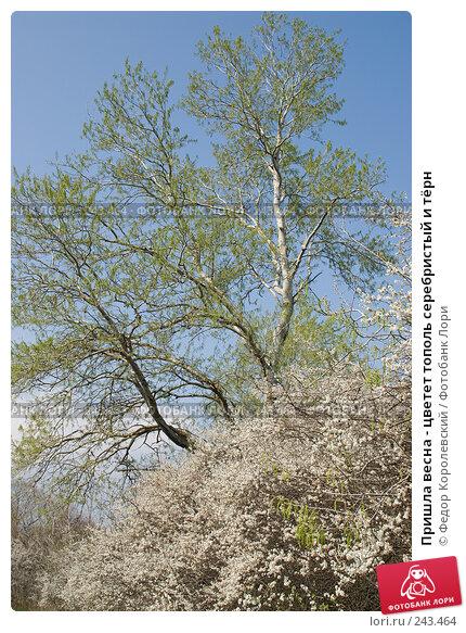Пришла весна - цветет тополь серебристый и тёрн, фото № 243464, снято 4 апреля 2008 г. (c) Федор Королевский / Фотобанк Лори