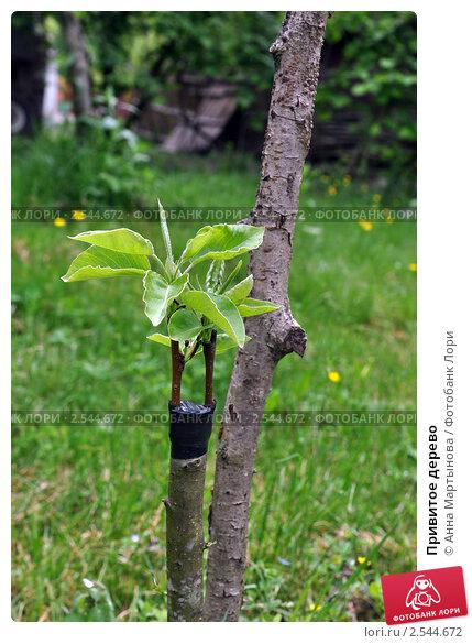Купить «Привитое дерево», фото № 2544672, снято 20 мая 2011 г. (c) Анна Мартынова / Фотобанк Лори