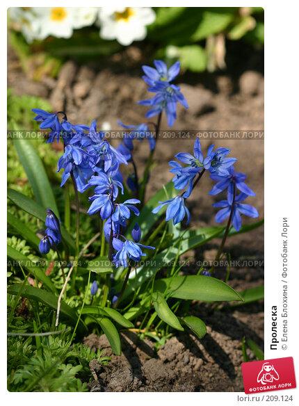 Пролеска, фото № 209124, снято 20 апреля 2007 г. (c) Елена Блохина / Фотобанк Лори