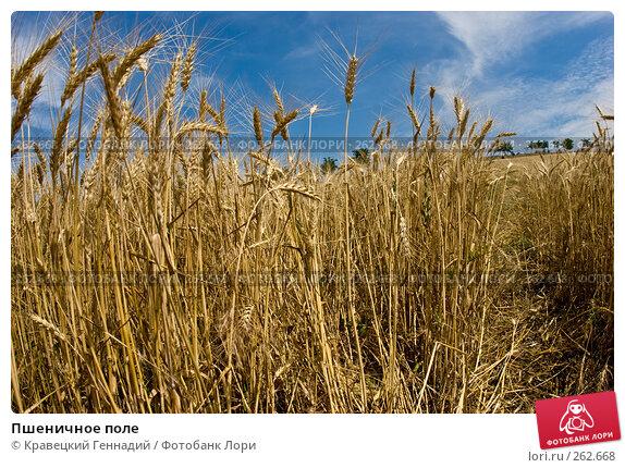 Пшеничное поле, фото № 262668, снято 2 июля 2005 г. (c) Кравецкий Геннадий / Фотобанк Лори