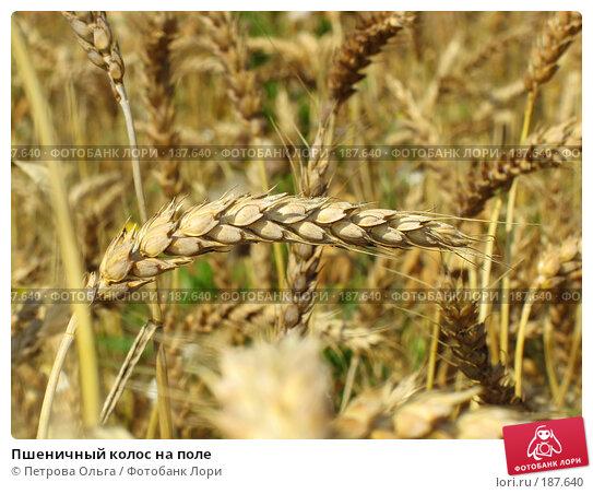 Купить «Пшеничный колос на поле», фото № 187640, снято 11 июля 2007 г. (c) Петрова Ольга / Фотобанк Лори