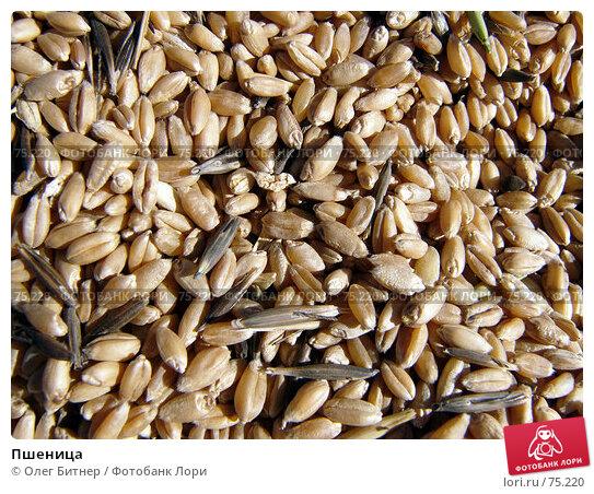 Пшеница, фото № 75220, снято 20 сентября 2005 г. (c) Олег Битнер / Фотобанк Лори