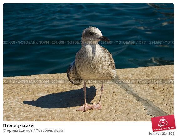 Птенец чайки, фото № 224608, снято 16 июля 2007 г. (c) Артем Ефимов / Фотобанк Лори