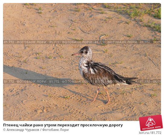 Птенец чайки рано утром переходит проселочную дорогу, фото № 81772, снято 25 июня 2006 г. (c) Александр Чураков / Фотобанк Лори