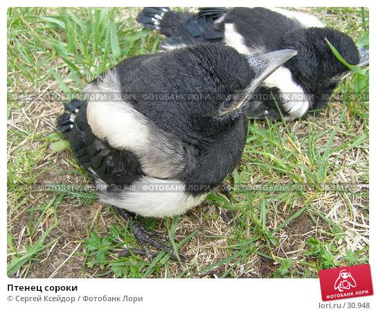 Купить «Птенец сороки», фото № 30948, снято 26 мая 2006 г. (c) Сергей Ксейдор / Фотобанк Лори