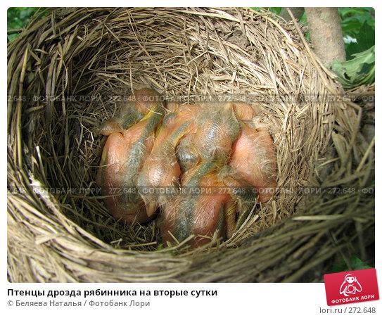 Птенцы дрозда рябинника на вторые сутки, фото № 272648, снято 20 июня 2007 г. (c) Беляева Наталья / Фотобанк Лори