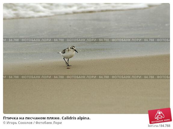 Птичка на песчаном пляже. Calidris alpina., фото № 84788, снято 22 октября 2016 г. (c) Игорь Соколов / Фотобанк Лори