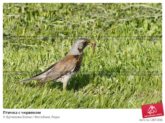 Птичка с червяком, фото № 287036, снято 16 мая 2008 г. (c) Бутинова Елена / Фотобанк Лори