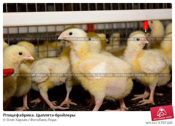 Купить «Птицефабрика. Цыплята-бройлеры», фото № 3707220, снято 30 мая 2012 г. (c) Олег Хархан / Фотобанк Лори