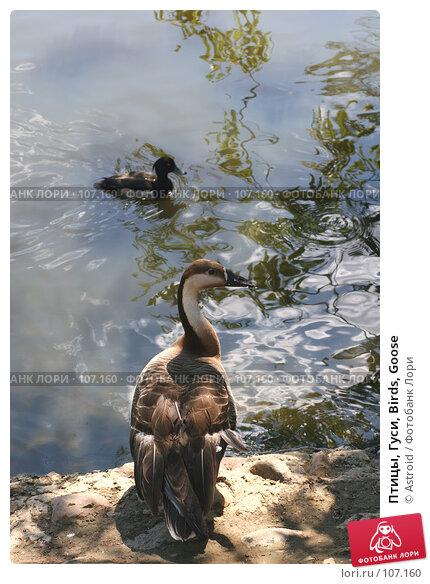 Купить «Птицы, Гуси, Birds, Goose», фото № 107160, снято 24 июня 2005 г. (c) Astroid / Фотобанк Лори