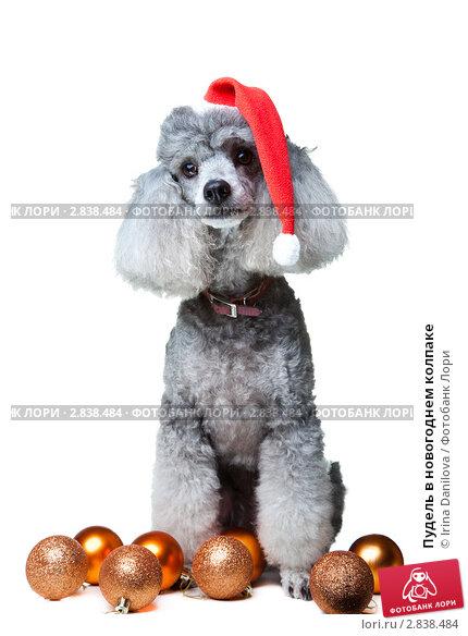Пудель в новогоднем колпаке. Стоковое фото, фотограф Irina Danilova / Фотобанк Лори