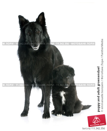 Купить «puppy and adult groenendael», фото № 11342356, снято 22 сентября 2019 г. (c) PantherMedia / Фотобанк Лори