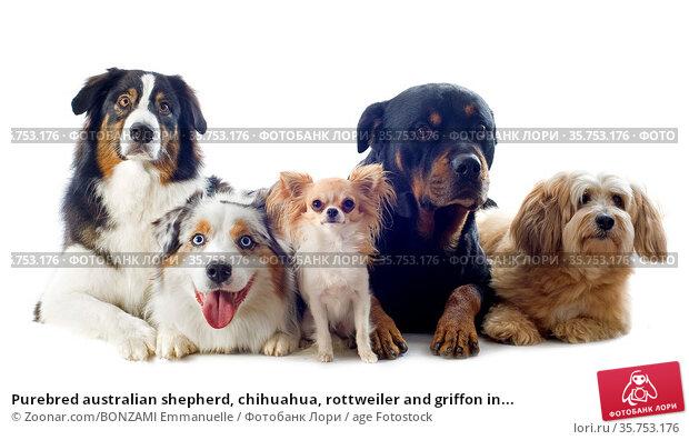 Purebred australian shepherd, chihuahua, rottweiler and griffon in... Стоковое фото, фотограф Zoonar.com/BONZAMI Emmanuelle / age Fotostock / Фотобанк Лори