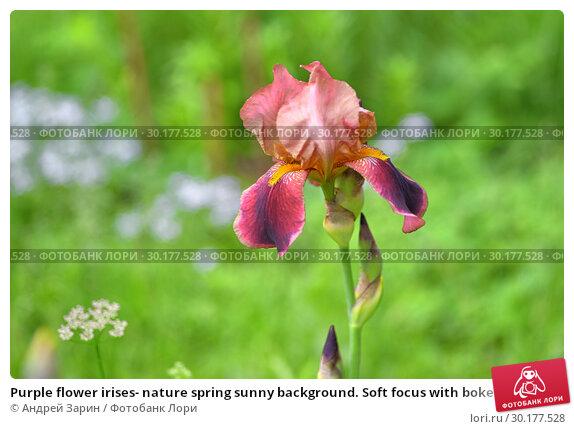 Купить «Purple flower irises- nature spring sunny background. Soft focus with bokeh», фото № 30177528, снято 17 июня 2018 г. (c) Андрей Зарин / Фотобанк Лори
